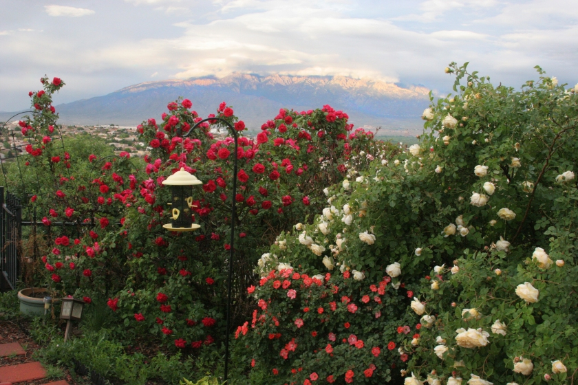 Roses and mountain